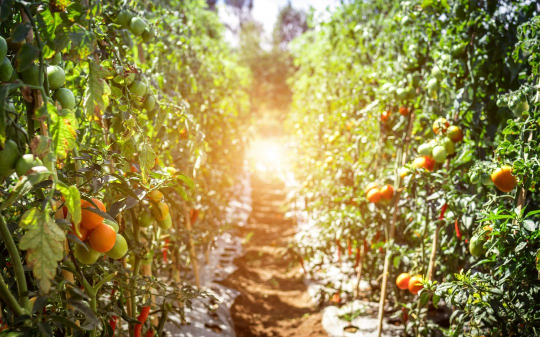 Photo of line of tomato plants on a farm
