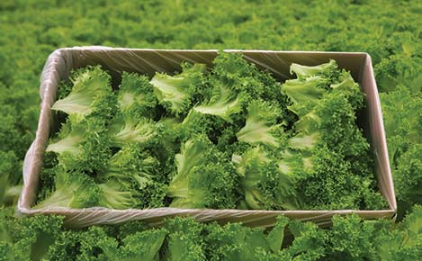 Icicle Lettuce Sandwich Leaves by Great Lakes Growers
